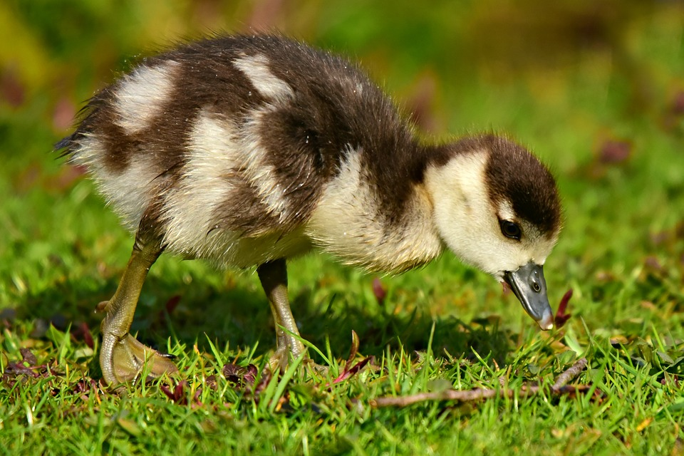Nile Goose, Water Bird, Animal, Chick, Duckling, Young