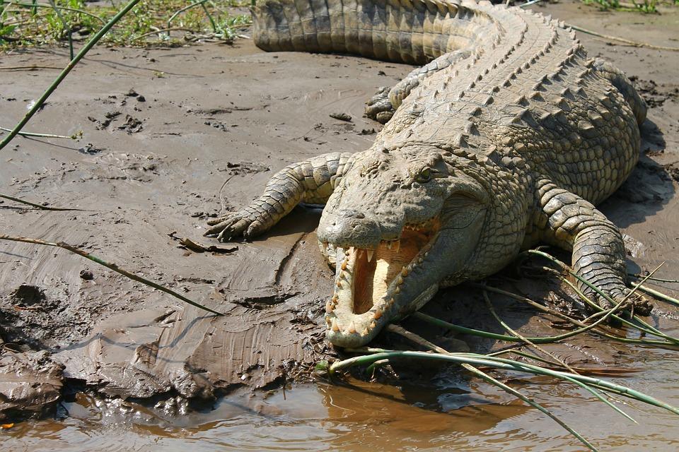 Crocodile, Nile, Ethiopia, Lake Chamo