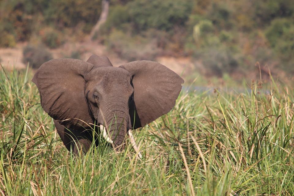 Elephant, Nile, Uganda, Africa, Safari, Mammal