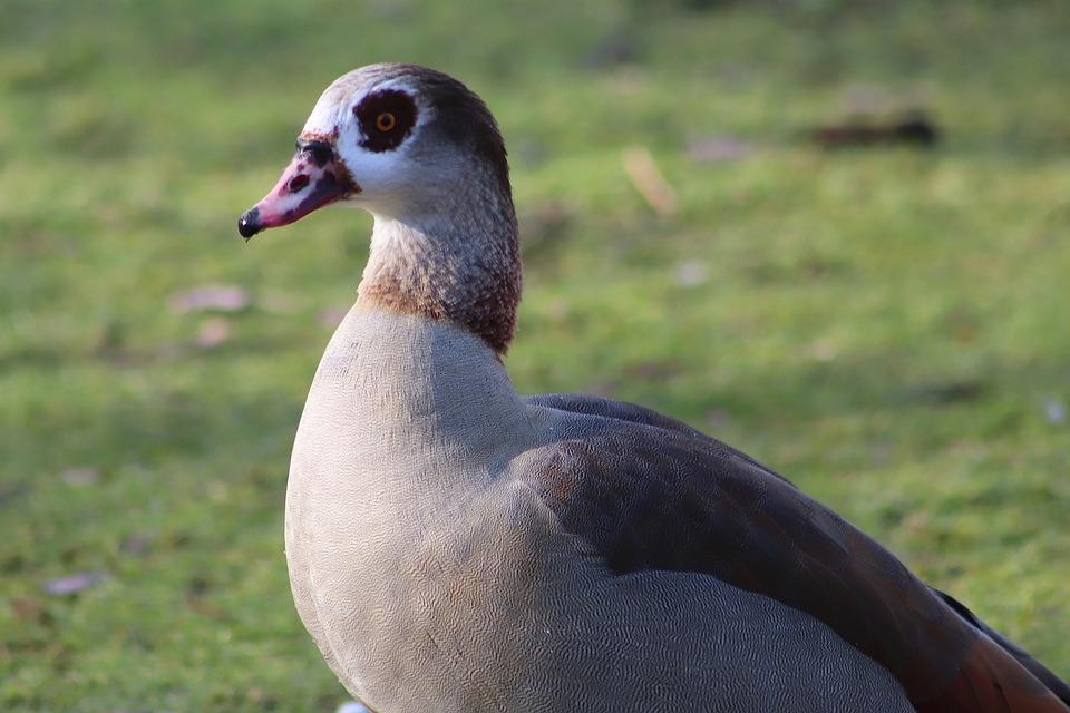 Nilgans, Goose, Wild Goose, Water Bird, Plumage, Bill