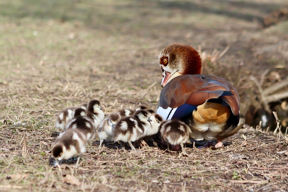 Chicks, Goslings, Young, Nilgans, Wild Goose, Goose