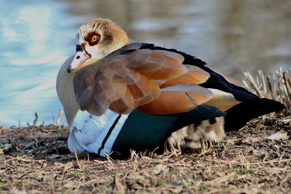 Nilgans, Water Bird, Wild Goose, Chicks, Goslings, Care
