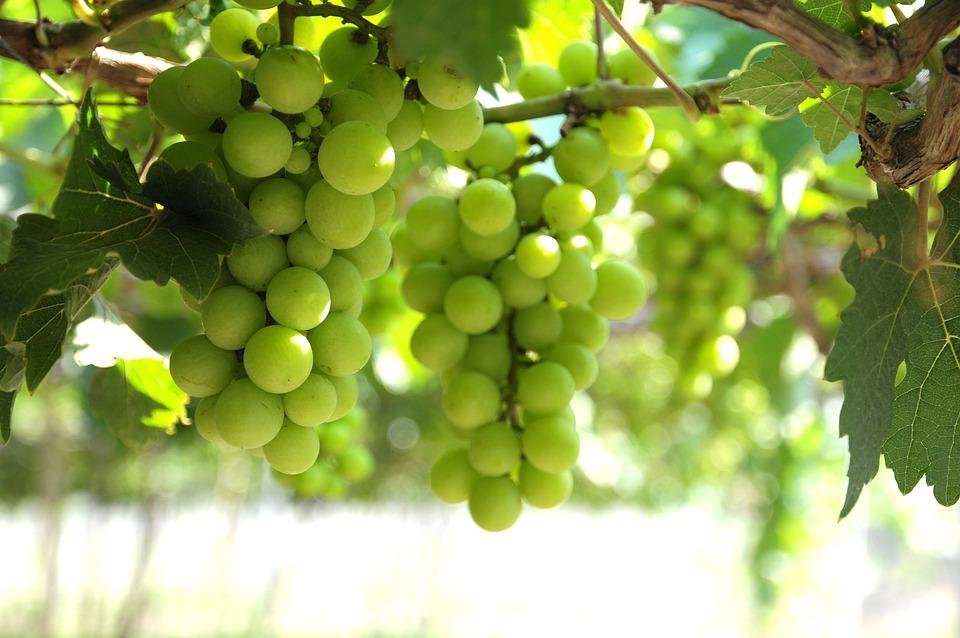 Grapes, Vineyard, Ninh Thuan, Bunches Of Grapes, Sunny