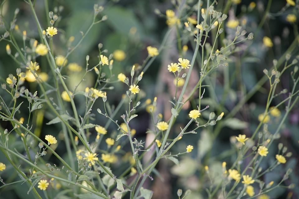 Lapsana, Nipplewort, Cabbage, Wildflower, Flowers