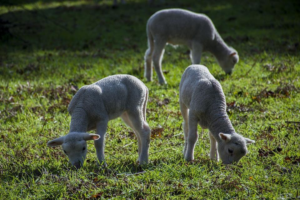 Mammals, Nature, Cattle, Rural Area, No Person, Field