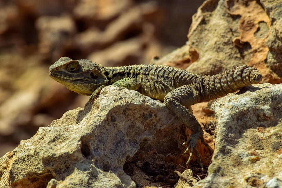 Reptile, Nature, Lizard, No Tailed, Wildlife, Animal