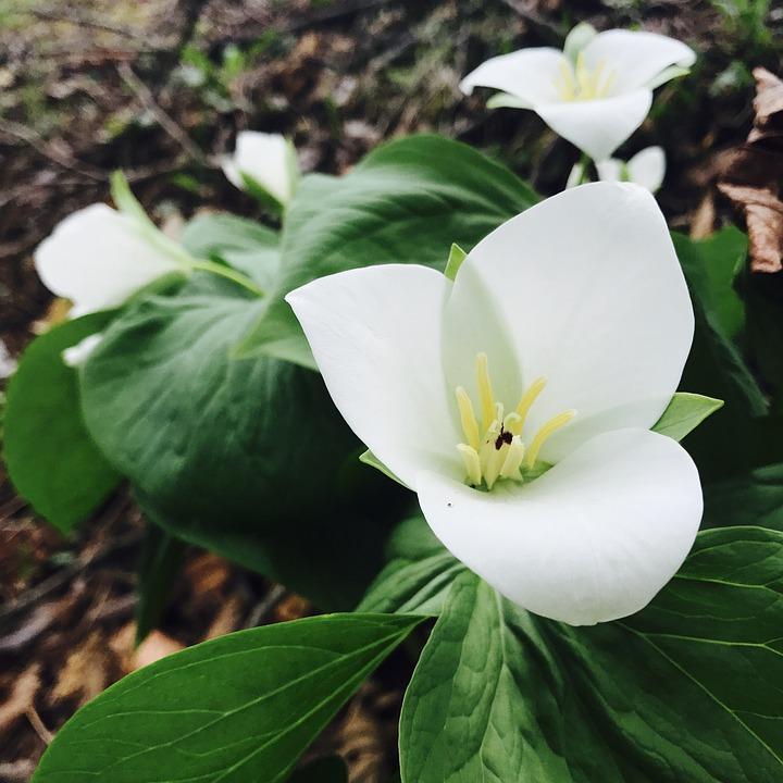 The Nano-the Trillium, Nobeyowaikusa, Flowers