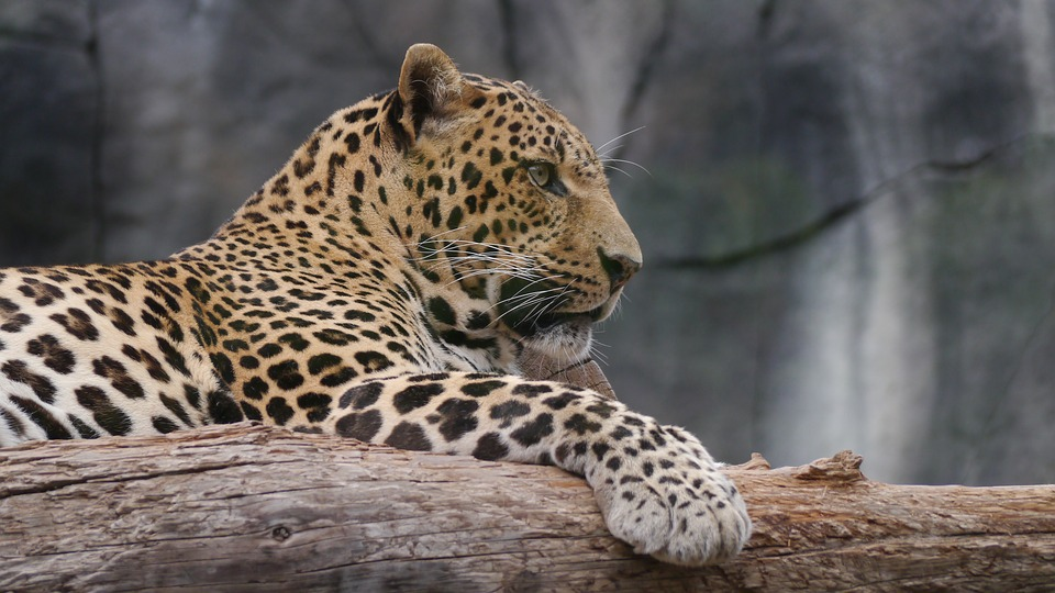 Leopard, Noble, Cat