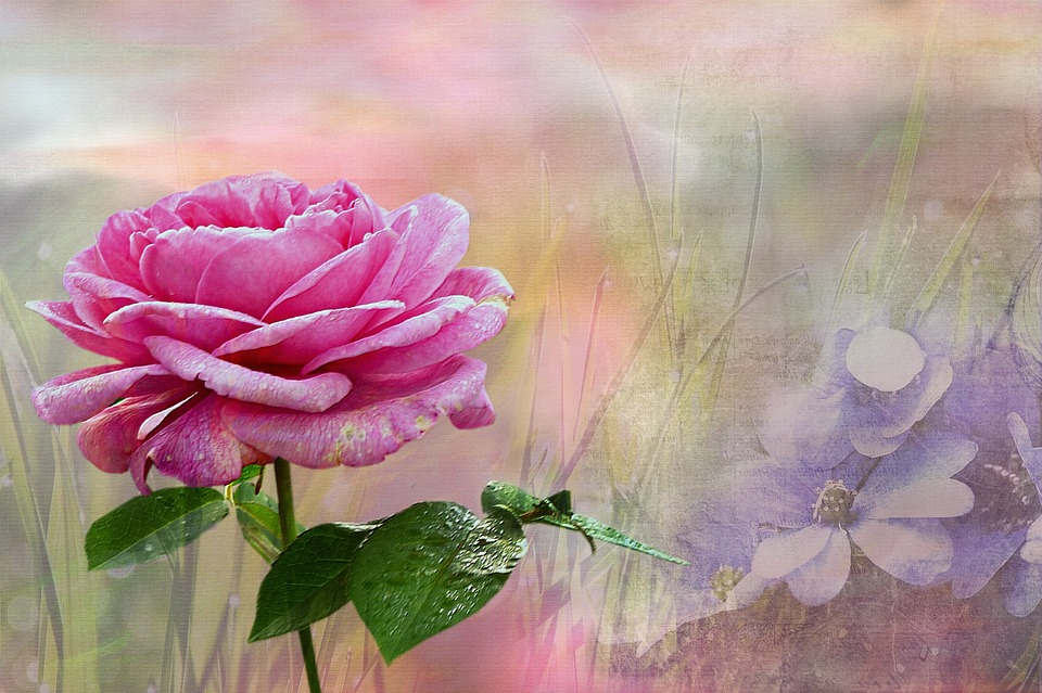 Plant, Rose, Pink, Texture, Noble, Beautiful