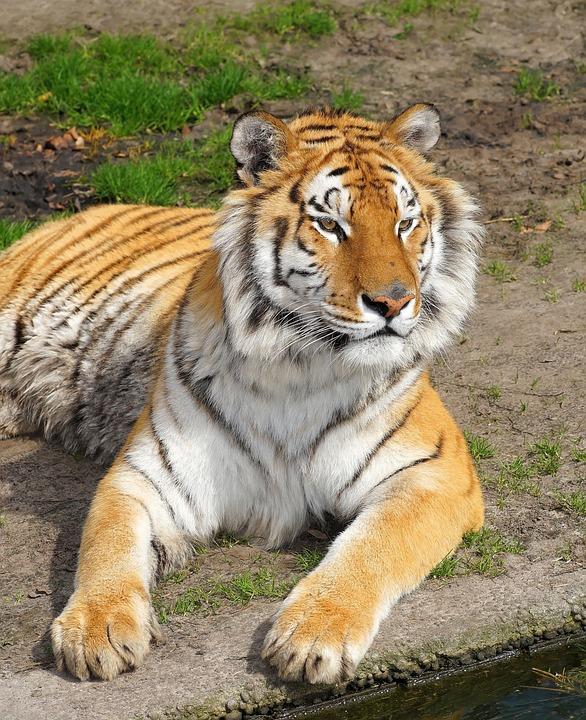 Tiger, Big Cat, Predator, Cat, Wildcat, Noble, Sublime