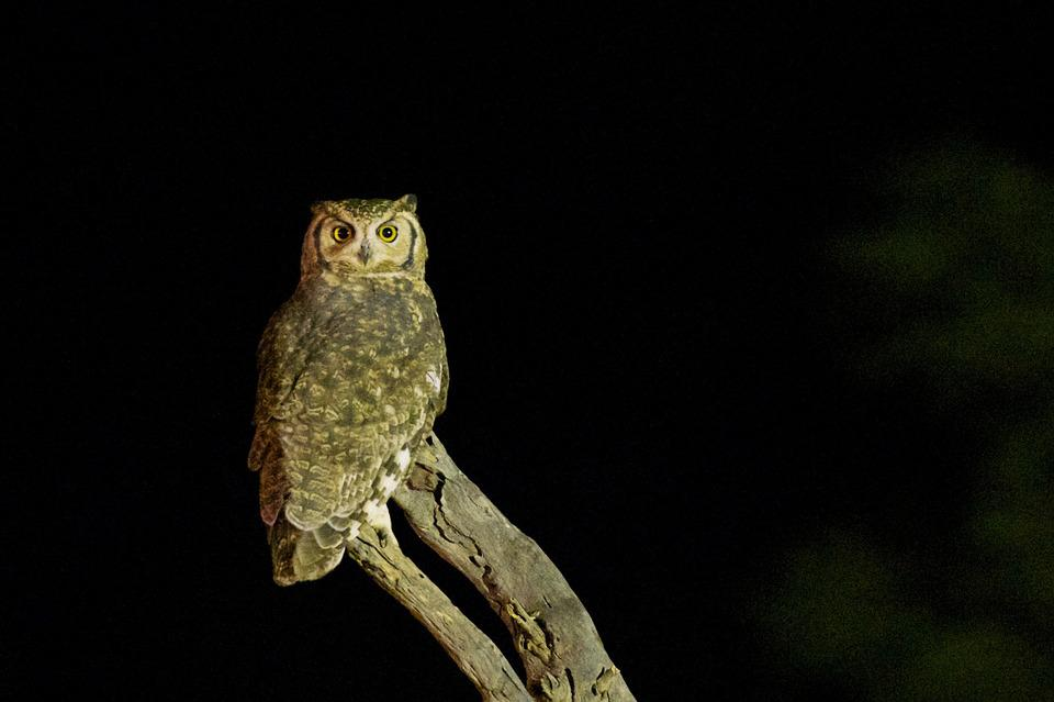 Owl, Bird, Wildlife, Night, Brown, Nocturnal, Horned