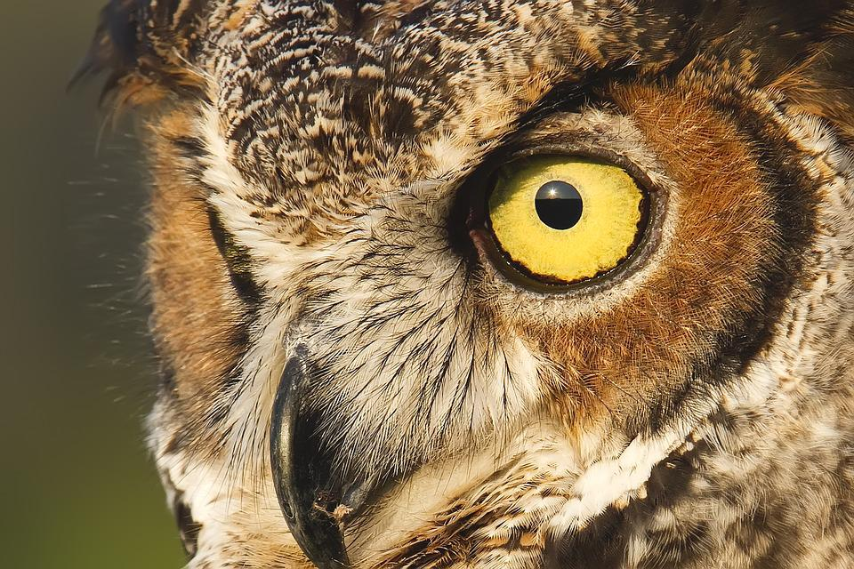 Owl, Great Horned Owl, Feathers, Raptor, Nocturnal