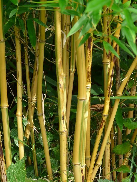 Bamboo, Bamboo Rods, Gold Bamboo Tube, Node Bamboo