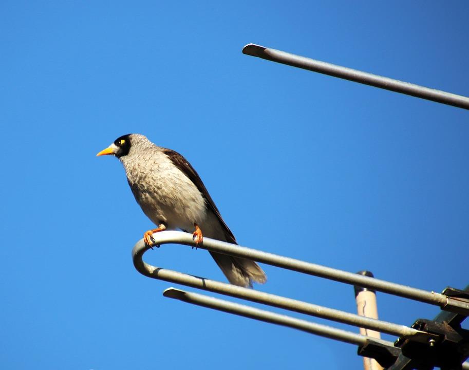 Bird, Noisy Miner, Australian, Perched, Antenna