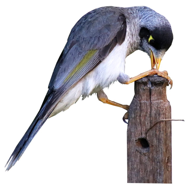 Bird, Noisy Miner, Honey Eater, Sitting, Post