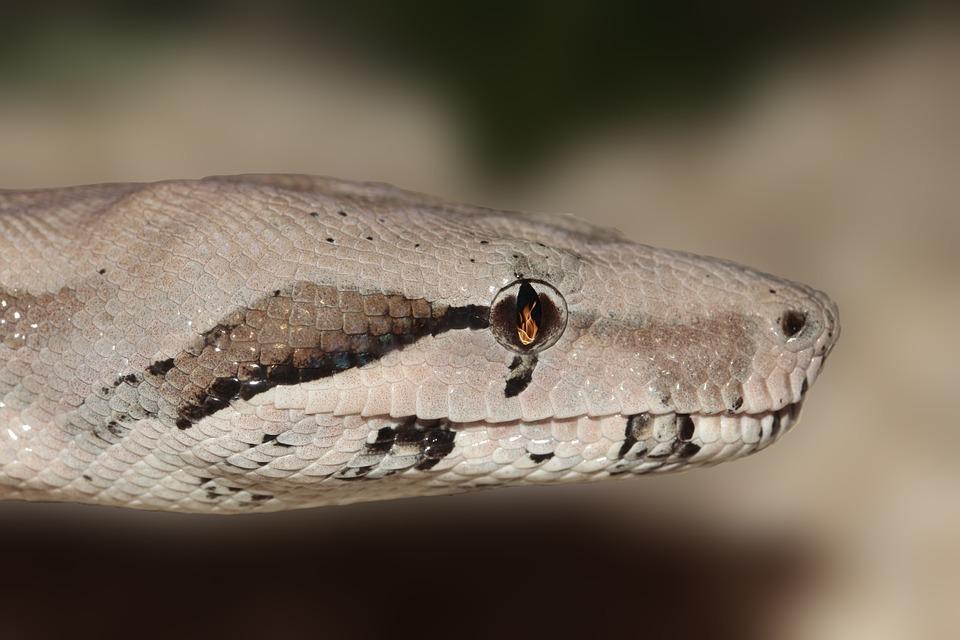 Snake, Eye, Reptile, Terrarium, Scale, Non Toxic