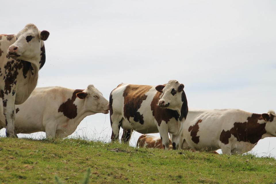 Cows, Normandy, France