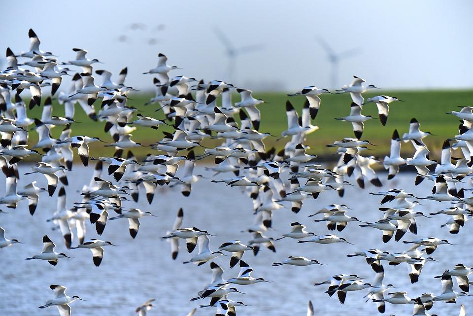 Avocet, North Sea, Bird Migration