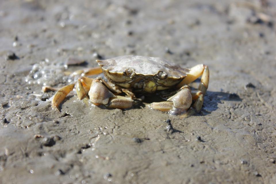 Cancer, North Sea, Watts, Animal, Beach, Meeresbewohner