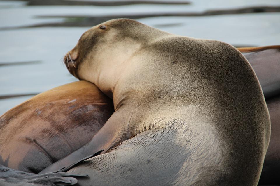Seals, Norwegian Sea, North Sea, Crawl, Meeresbewohner