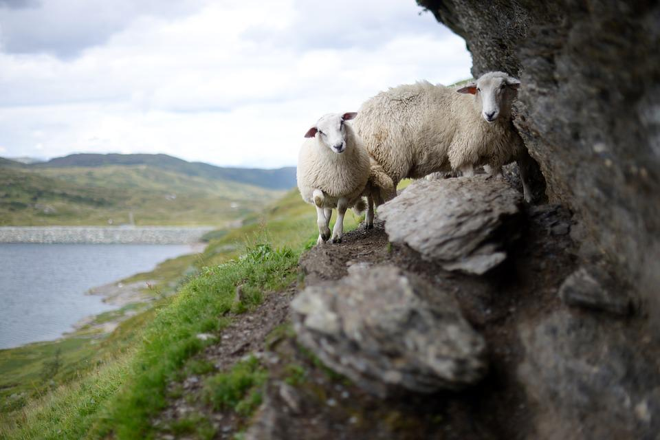 Sheep, Norway, High Landscape, Nature, Rock