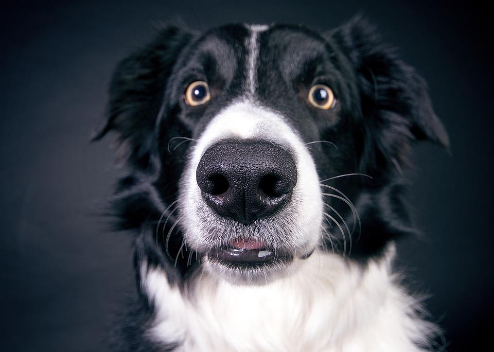 Dog, Nose, Snout, Head, Animal, Close, Black, Face