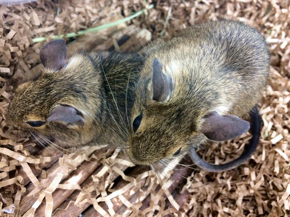 Rat, Animal, Pet, Cute, Mammal, Adorable, Tame, Nose