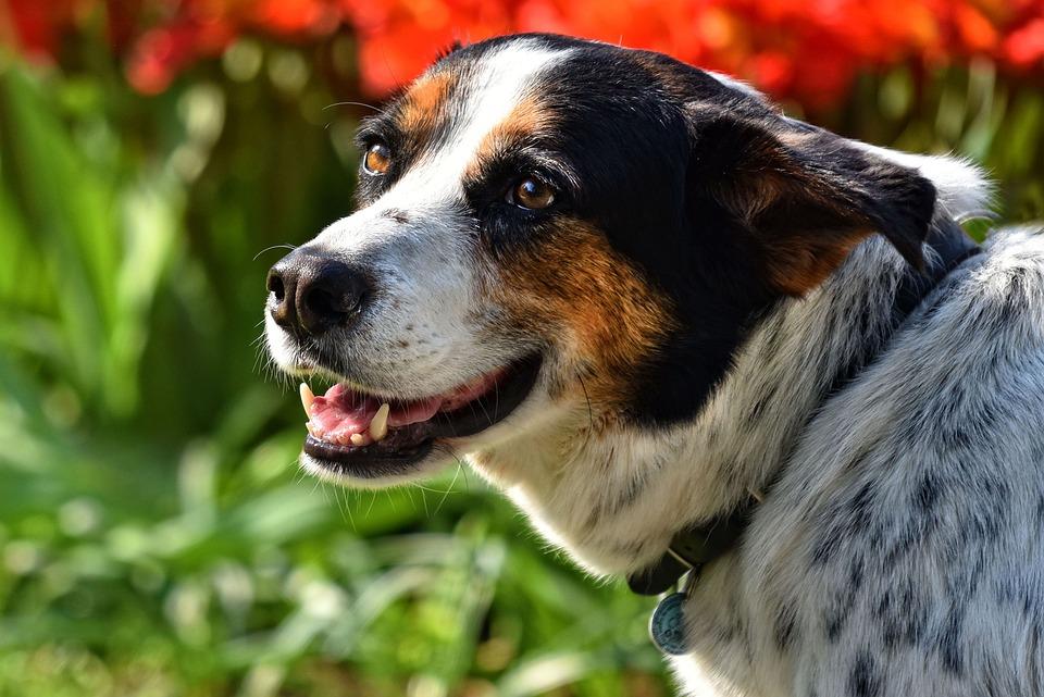 Dog, Animal, Mammal, Muzzle, Snout, Nose, Fang, Tongue