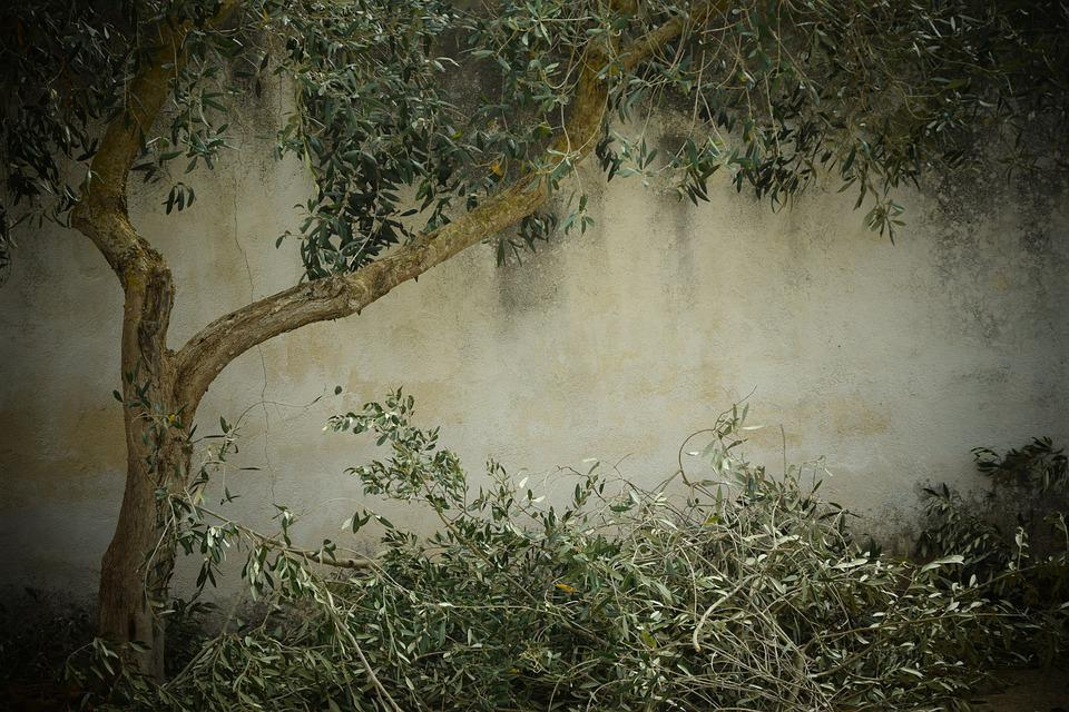 Olive Tree, Nostalgia, Background, Tree Cutting