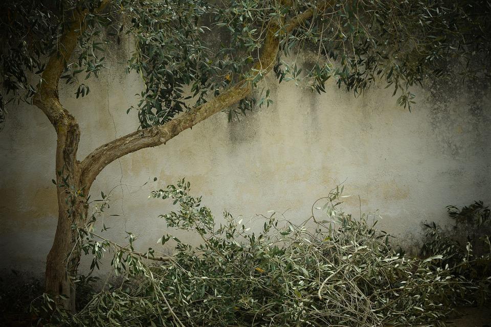 Olive Tree, Nostalgia, Background, Tree Cutting