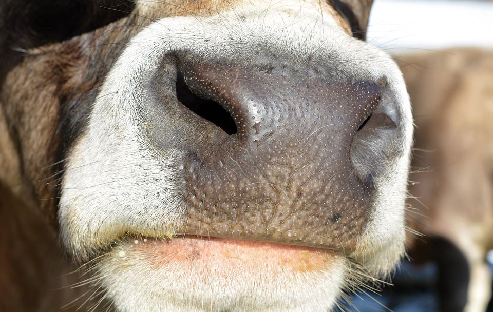 Cow, Beef, Livestock, Mammal, Foot, Nostrils, Curious