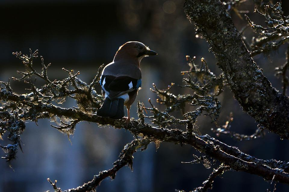 Birds, The Nature Of The, Wild, Nøtteskrike