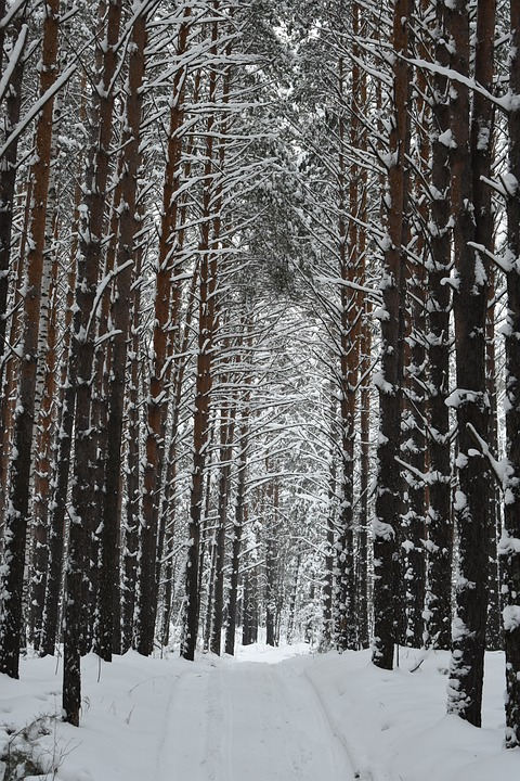 Forest, Winter, Snow, Siberia, Novosibirsk, Trees