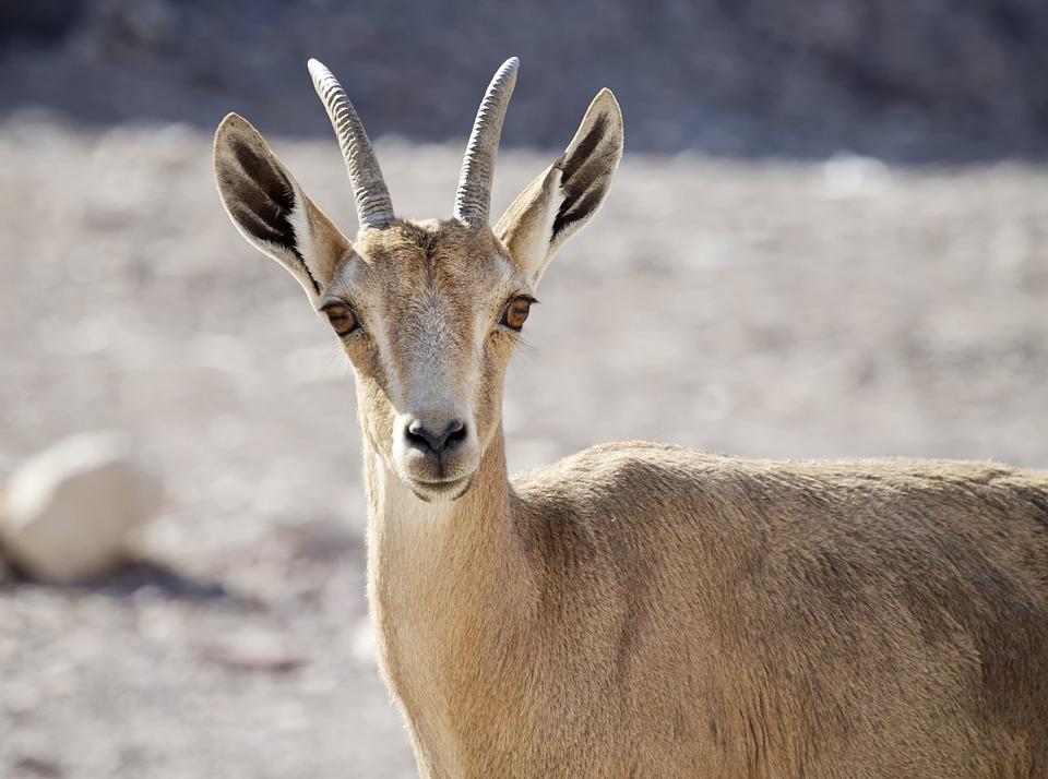 Nubian Ibex, Young, Desert, Israel, Eilat, Wildlife