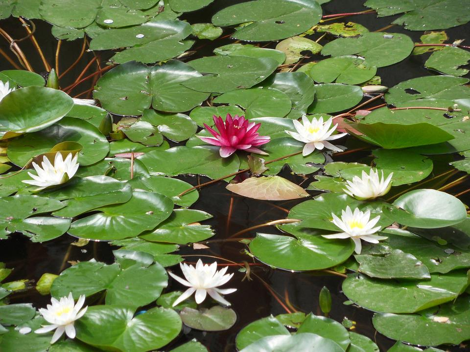 Water Lily, Flower, Aquatic Plant, Nuphar