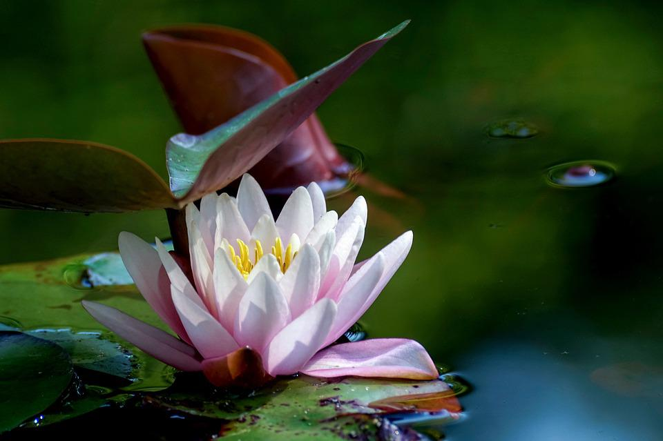 Water Lily, Water, Water Flower, Nuphar Lutea