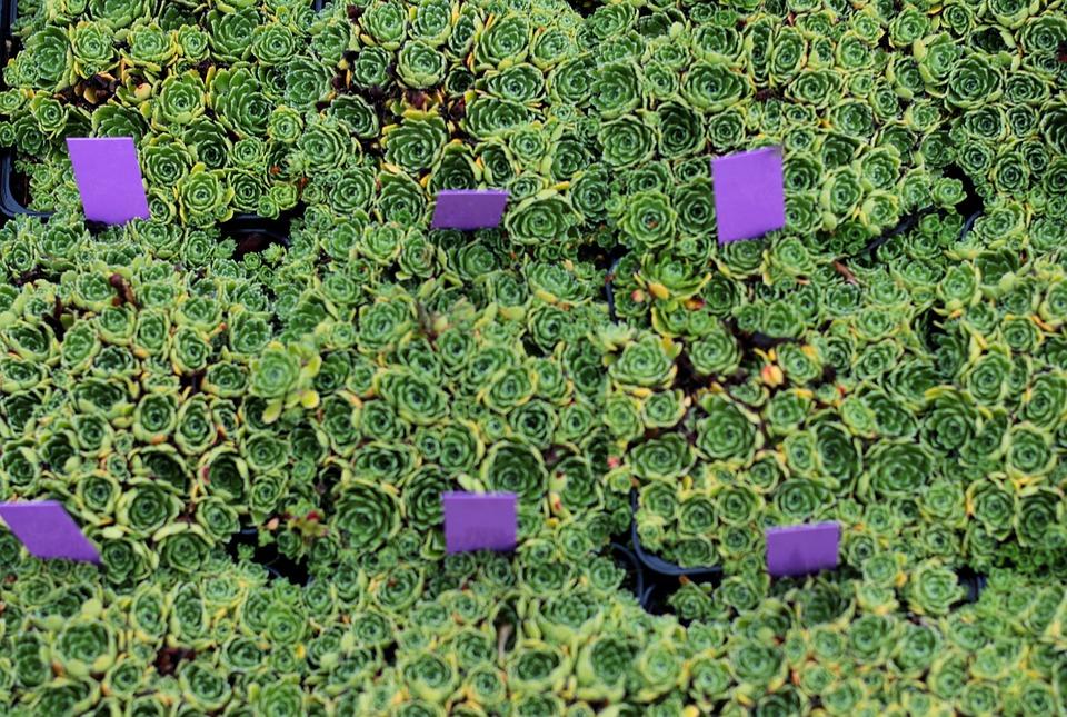 Succulents, Nursery, Garden Center, Garden, Pots