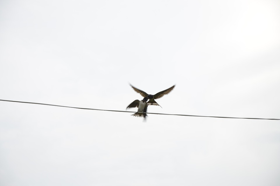 Nurture, Swallow, Wire, Bird