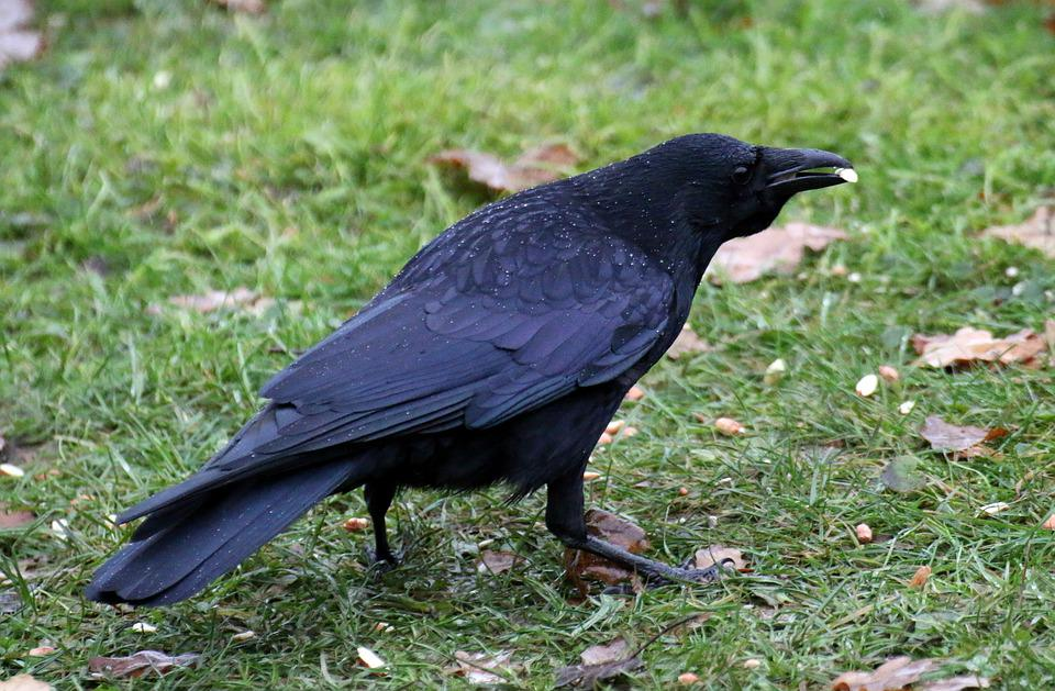 Carrion Crow, Plumage, Black, Nut