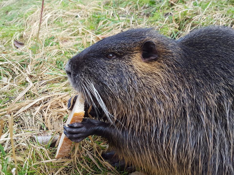 Nutria, Animal, Rodent, Mammal, Nature, Animals, Cute