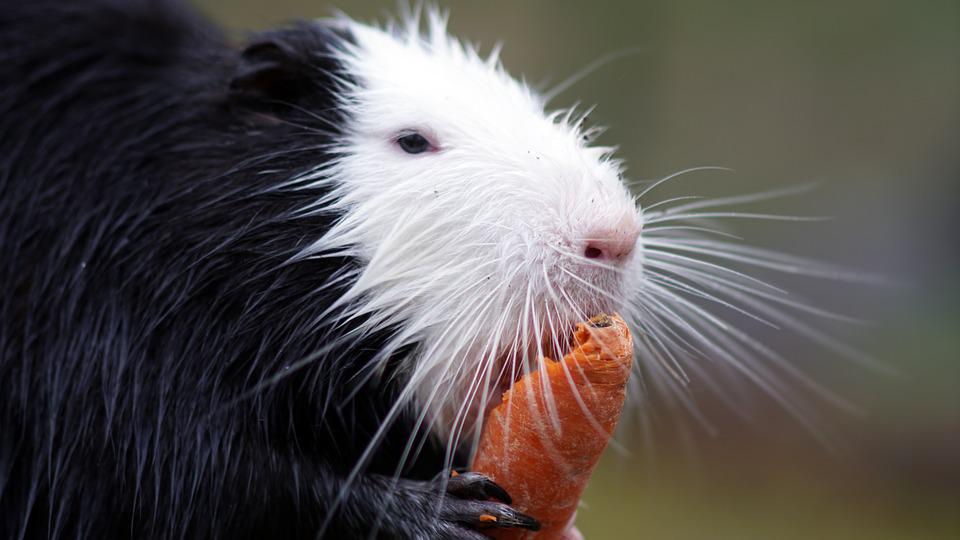 Nutria, Carrot, Zoo, Rodent, Animal, Nager, Mammal, Eat