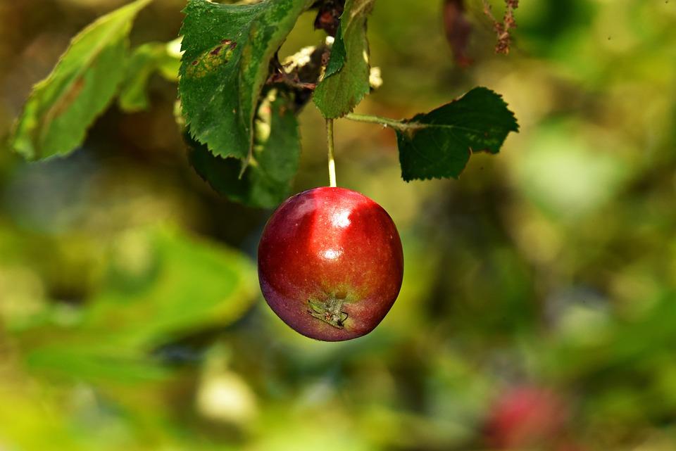 Apple, Branch, Apple Tree, Fruit, Food, Nutrition, Red