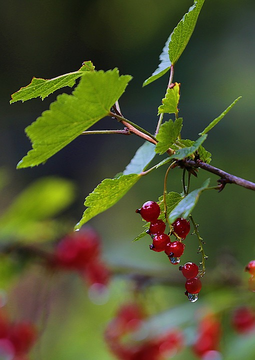 Currant, Red Currant, Berry, Macro, Nutrition, Vitamin