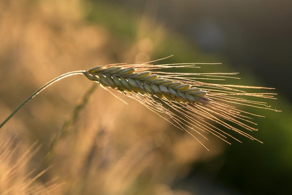 Roogen, Ear, Cereals, Grain, Nature, Food, Nutrition