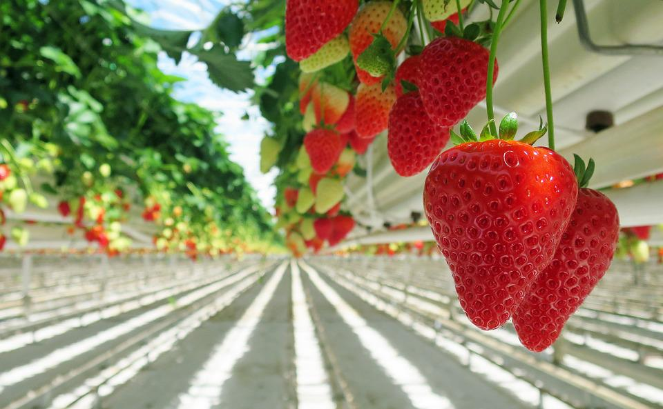 Strawberry, Strawberries, Red, Sweet, Fruit, Nutrition