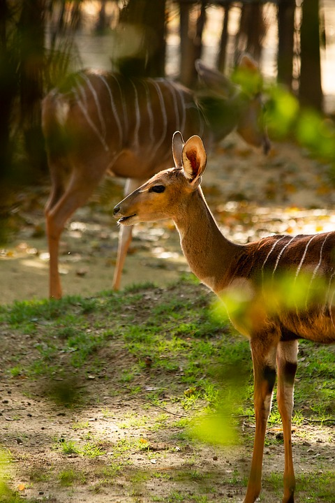Nyala, Forest, Scene, Natural World, Animal, Local