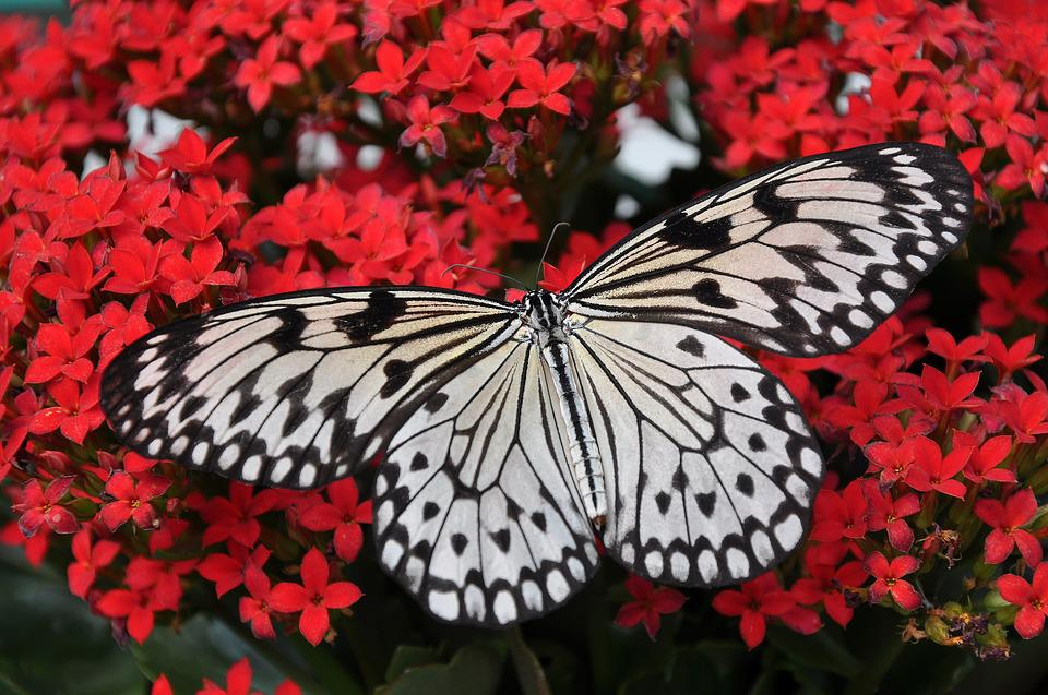 Butterfly, White, Black, Nymph