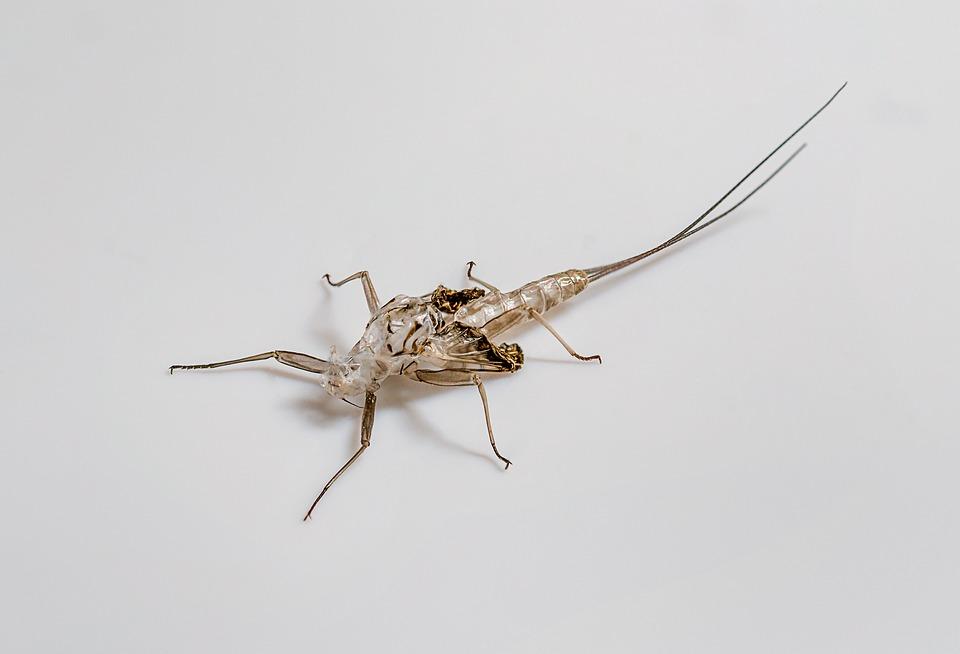 Ephemeral, Empty Larva, Insect, Nymph