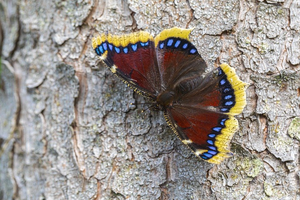 Mourning Cloak, Nymphalis Antiopa, Nature, Insect