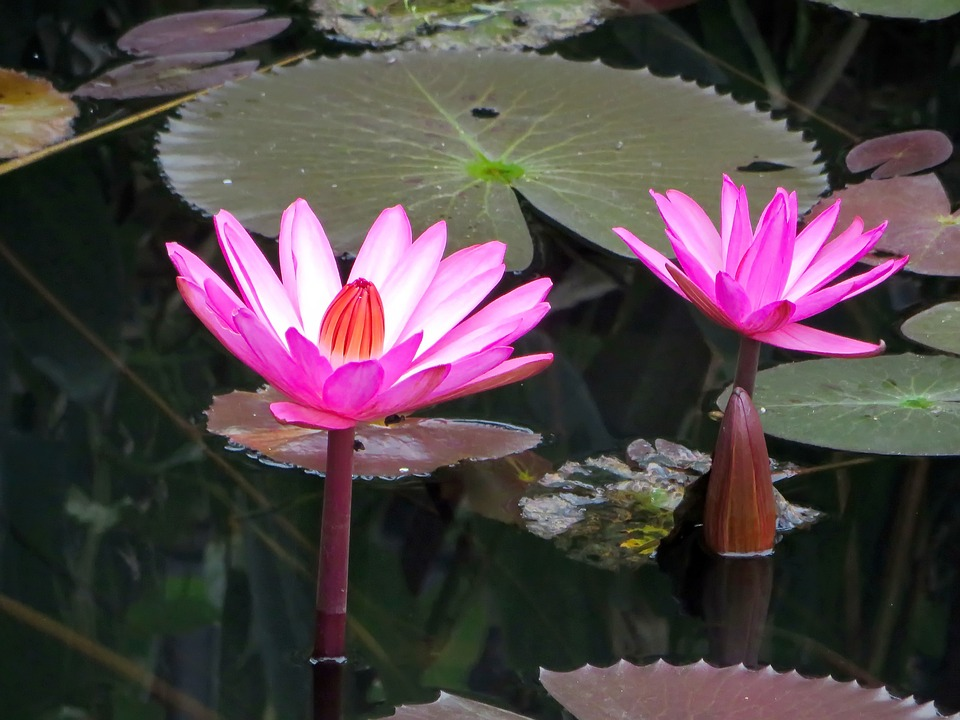 Asia, Laos, Water Lily, Pink, Nympheacea, Nuphar Rosea